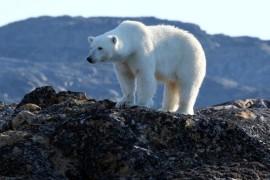 Expedition zu Eisbären und Narwalen: Mit AKADEMIK IOFFE in die kanadische Arktis